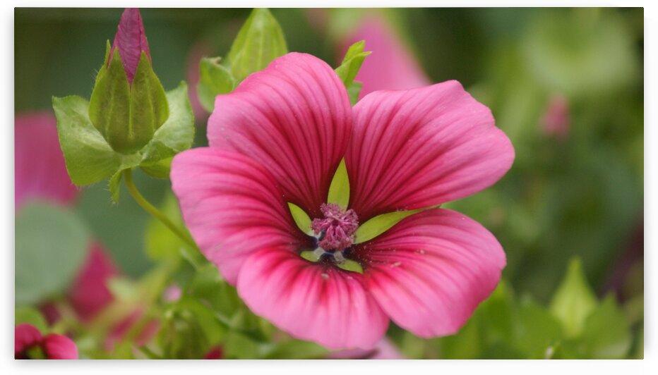 Malope Trifida Flower by Pixcellent Adventures