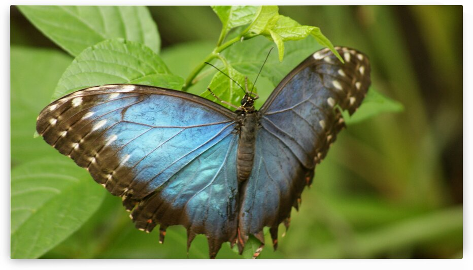 Blue morpho butterfly by Pixcellent Adventures