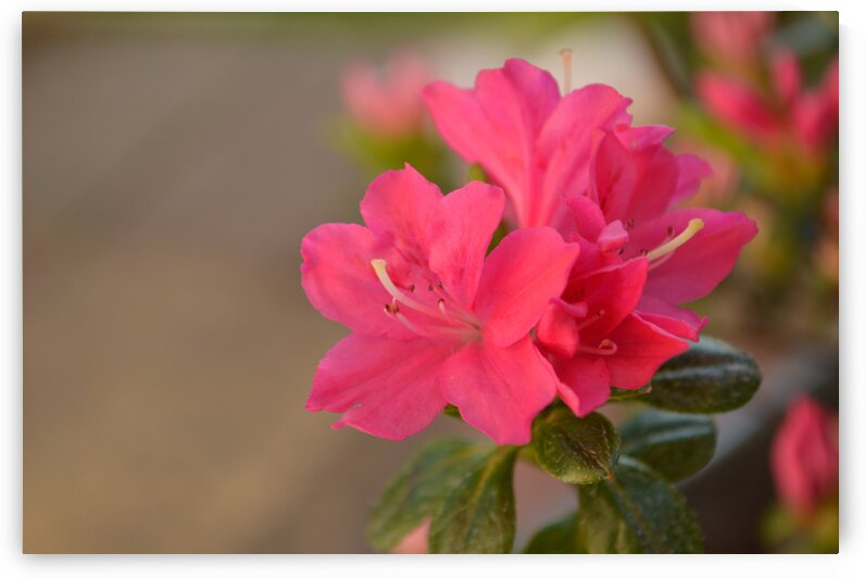 Deep Pink Kermesina by Pixcellent Adventures