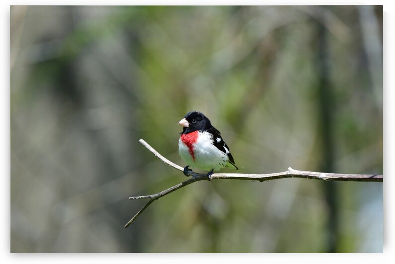 Rose-breasted Grosbeak  by Paul R  O-Toole