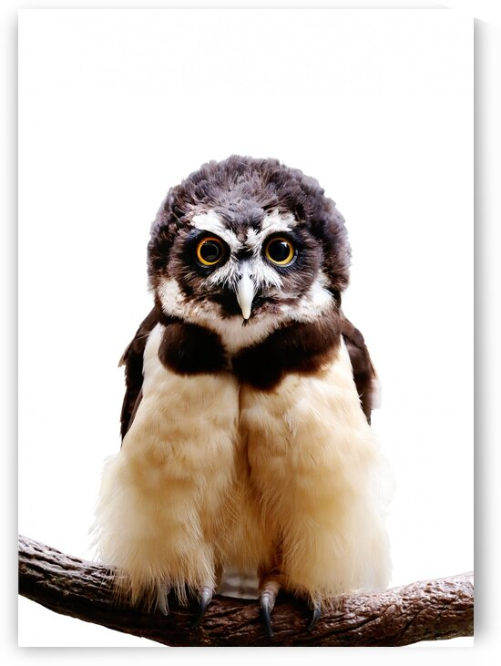 Spectacled Owl on White 5x7 by Studio Dalio