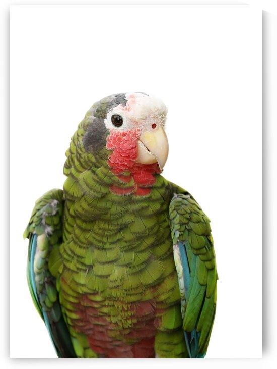 Cuban Amazon Parrot on White 5x7 by Studio Dalio