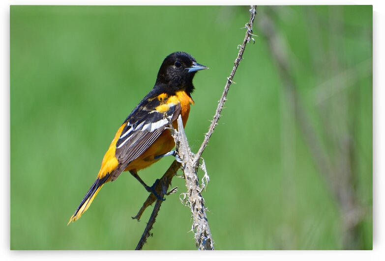 Baltimore Oriole by Paul R  O-Toole