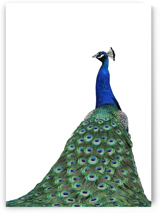 Male Peacock on White 5x7 by Studio Dalio