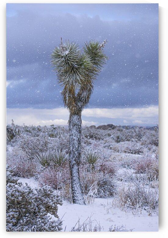 Joshua Tree Snowday by Zach Sine