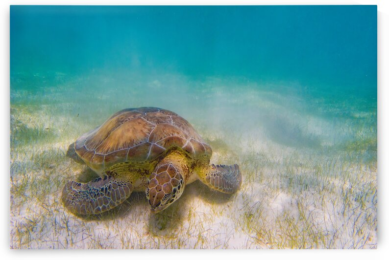 Green Sea Turtle by Truly Wild