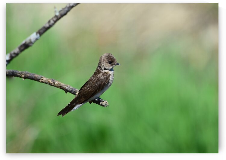 Northern Rough-winged Swallow  by Paul R  O-Toole