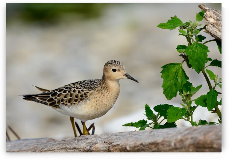 Buff-breasted Sandpiper by Paul R  O-Toole