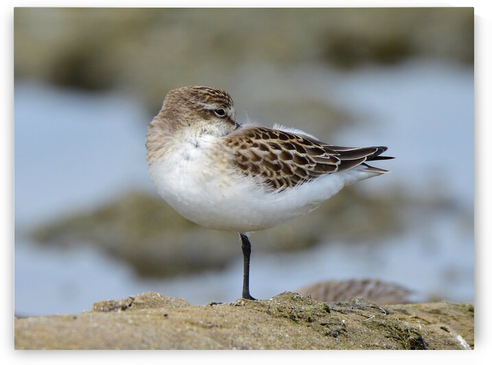Semipalmated Sandpiper by Paul R  O-Toole