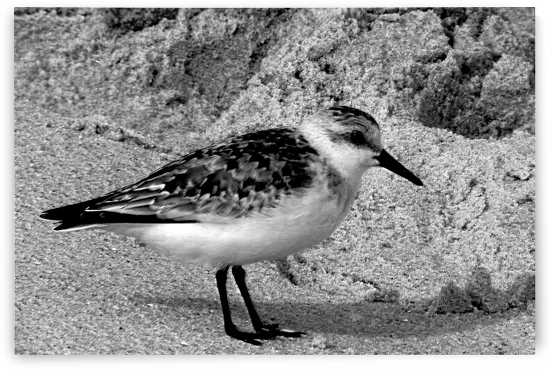 Sandpiper on the Beach in Black and White by Ocean City Art Gallery