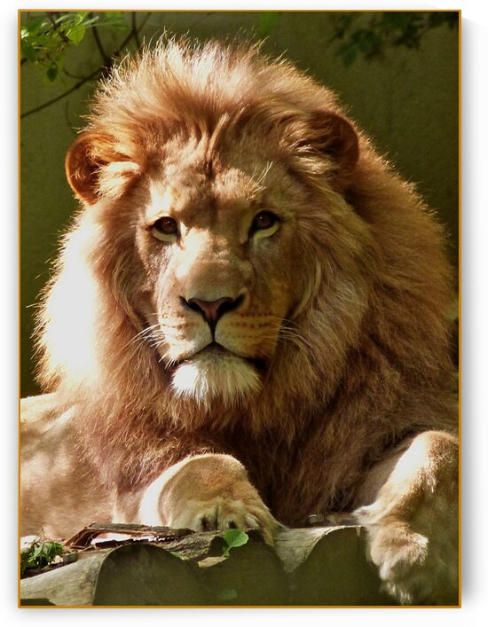 The LION with the golden glow by Tim Glasby