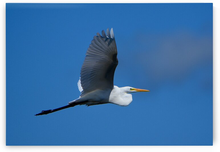 Great Egret by Paul R  O-Toole