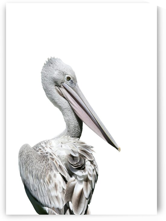 Pink Backed Pelican Rear View on White 5x7 by Studio Dalio