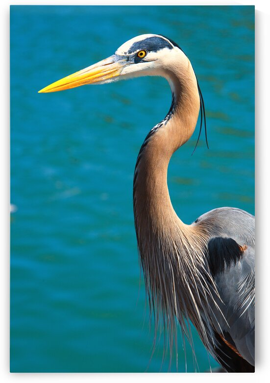 Great Blue Heron Close Up Portrait by Stefano Senise Photography