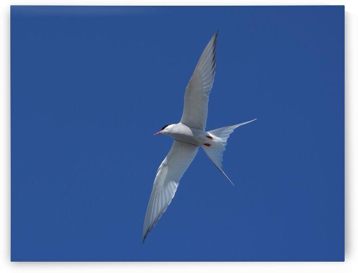Arctic Tern by Paul R  O-Toole