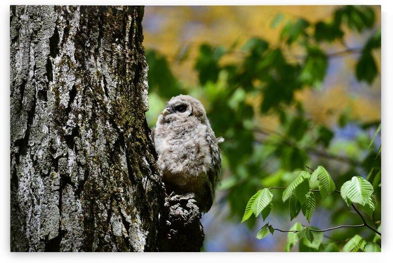 Barred Owl Owlet by Paul R  O-Toole