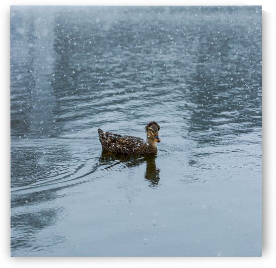 Cold Duck by C-Nick Photography
