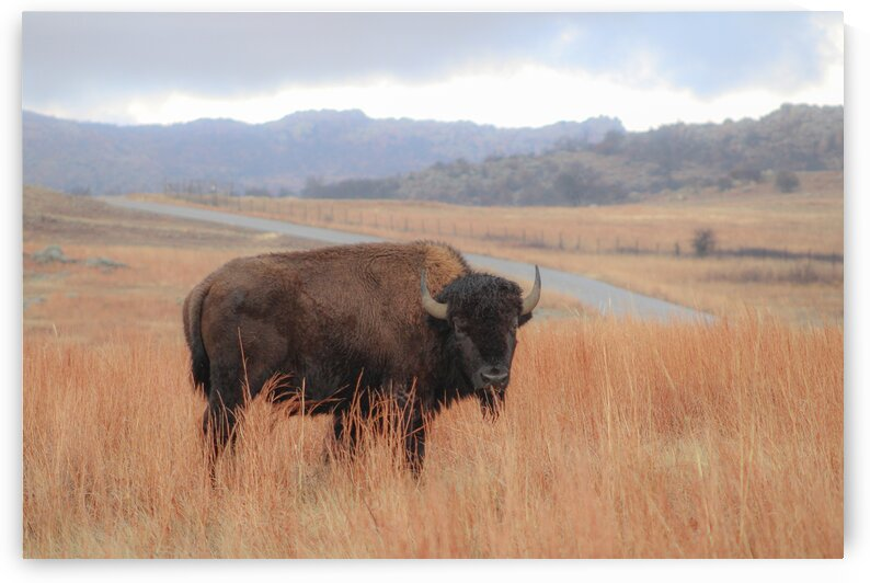 Bison by Susan Diann Photography