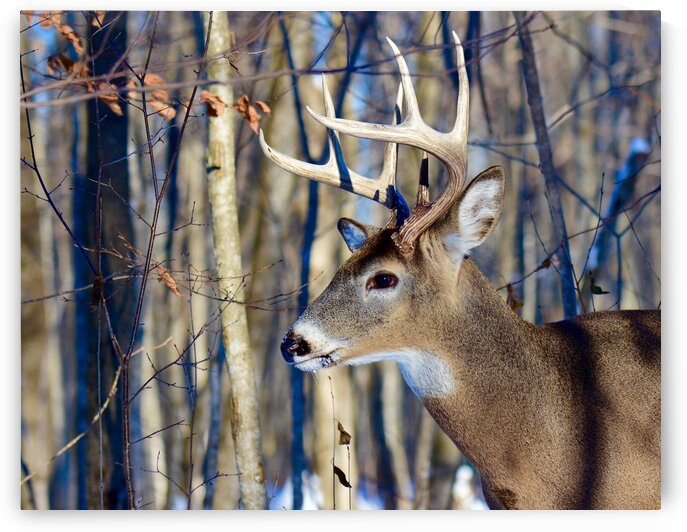White-tailed Deer by Paul R  O-Toole
