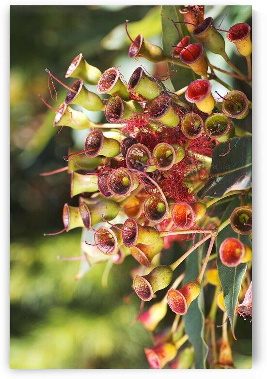Eucalyptus Corymbia Ficifolia After Red Flowers  by Joy Watson