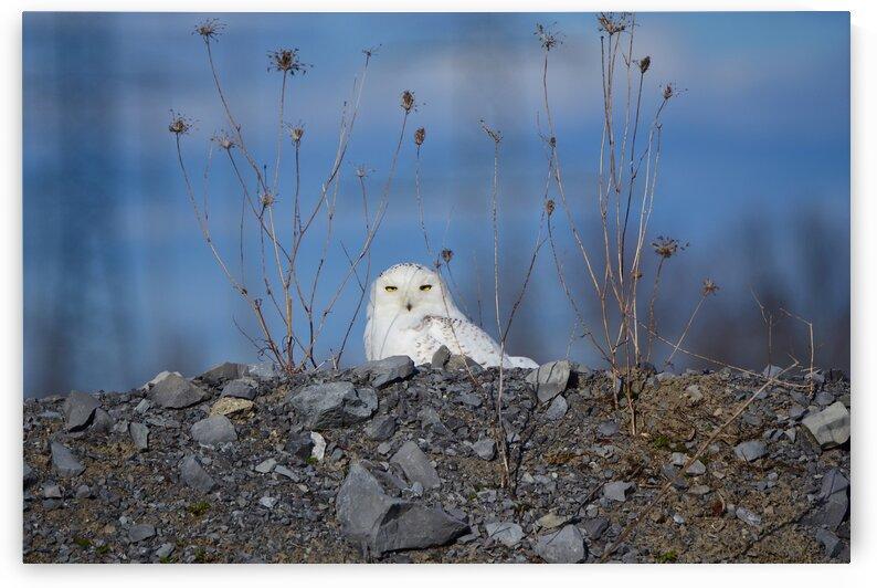 Snowy Owl by Paul R  O-Toole