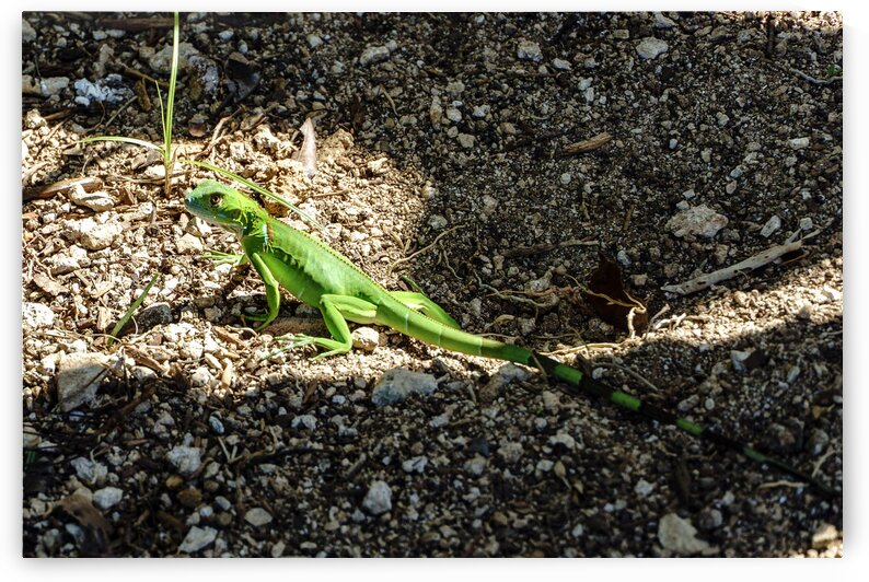 Cayman Young Green Iguana  by tommikee