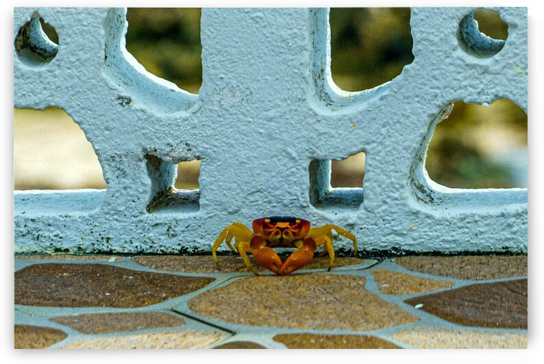 Cayman Crab by tommikee