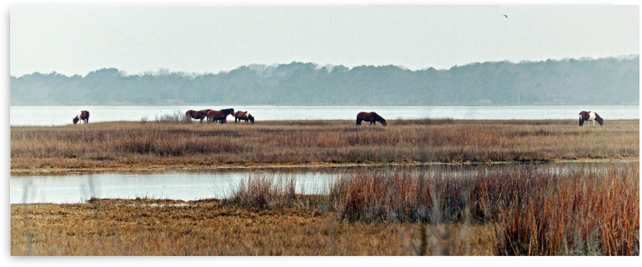 assateague horse band panorama 0138 by Bill Swartwout Photography