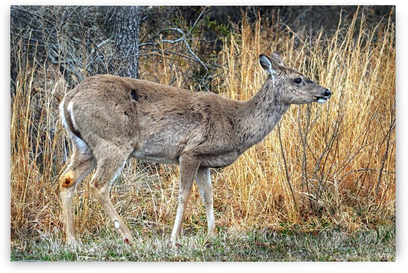 assaateague deer full right 0023 by Bill Swartwout Photography