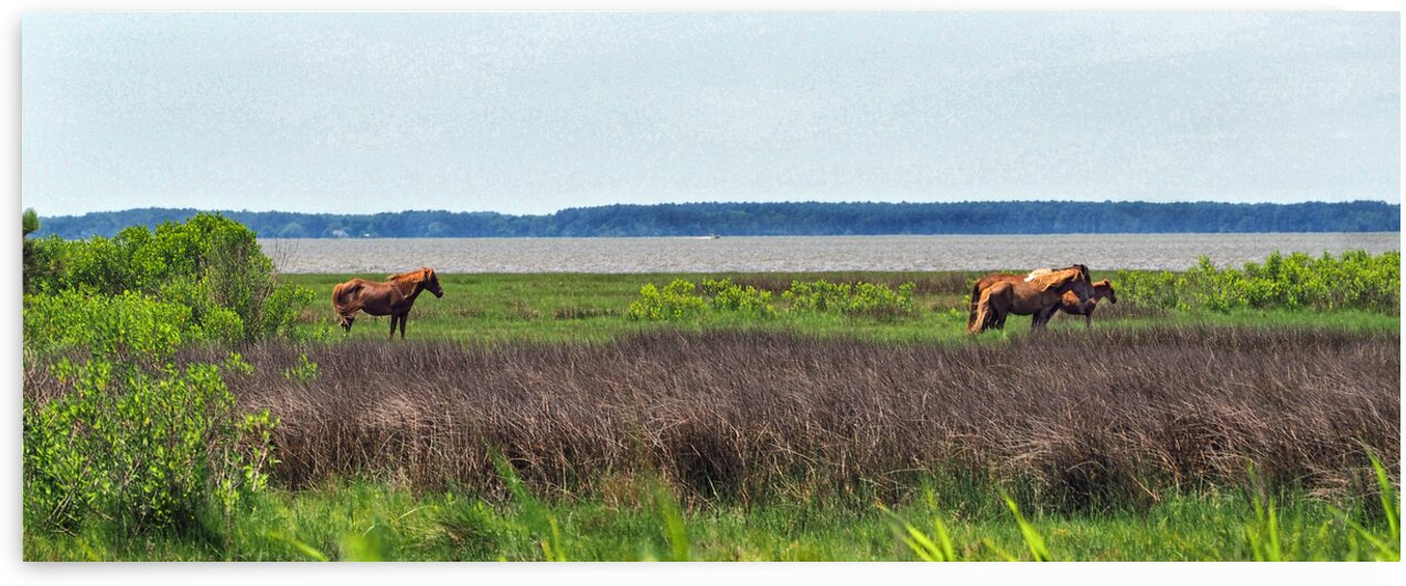 assateague pony band w foal 6140094 by Bill Swartwout Photography