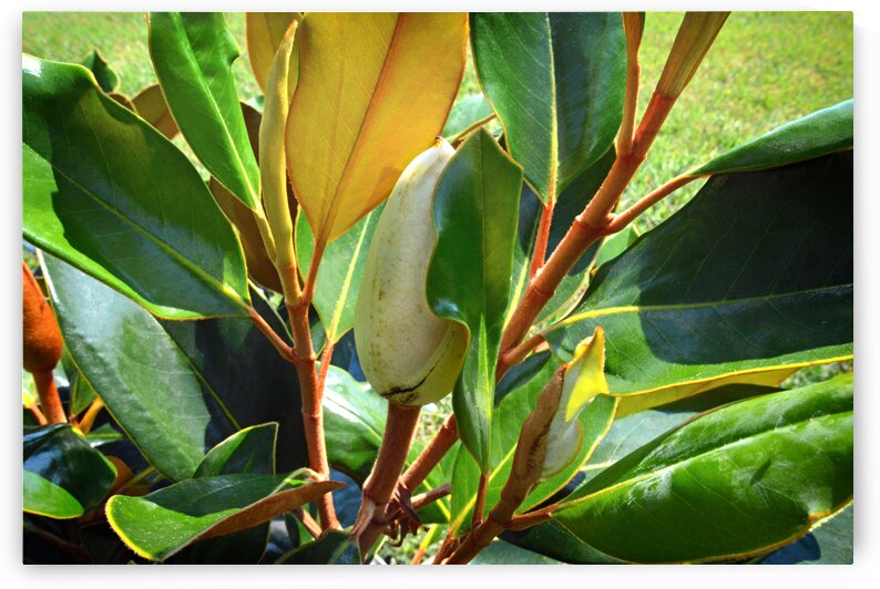 magnolia bud leaves nancy 0005 by Bill Swartwout Photography