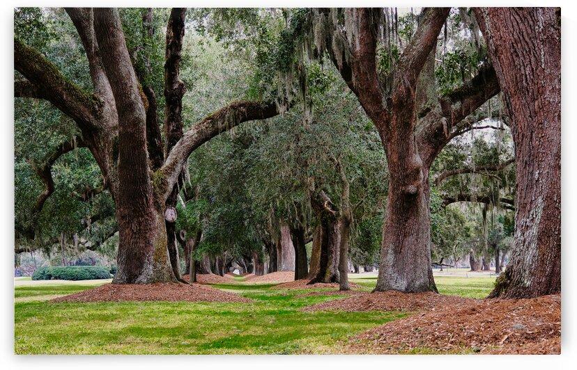 Line of Old Oaks by Darryl Brooks