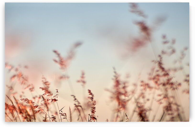 A close-up of the soft grass flowers in the evening by Krit of Studio OMG