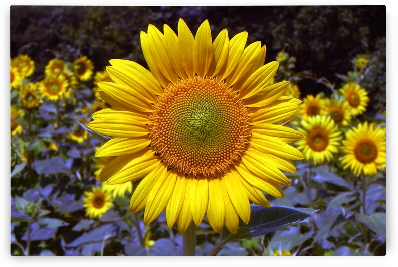 sunflower on roxanna road b by Bill Swartwout Photography
