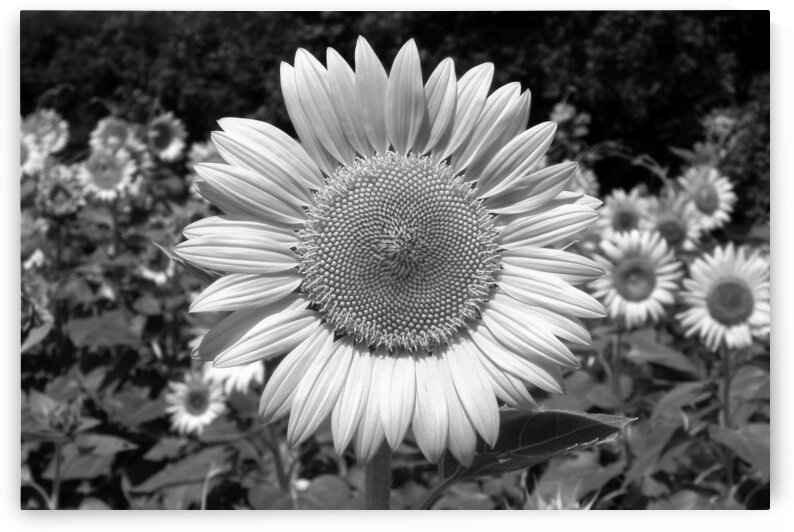 sunflower on roxanna road b black white by Bill Swartwout Photography