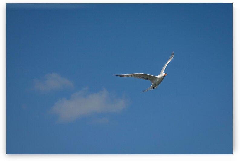 Royal Tern by Toni Ivanov Photography