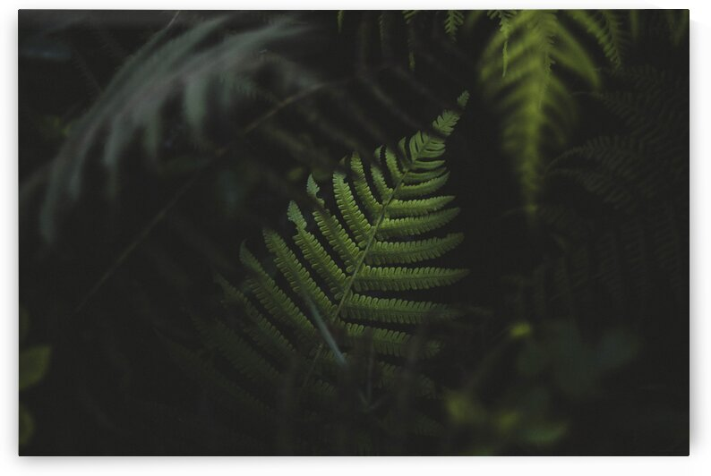 Fern Leaves In The Forest Of Oahu Hawaii by 7ob