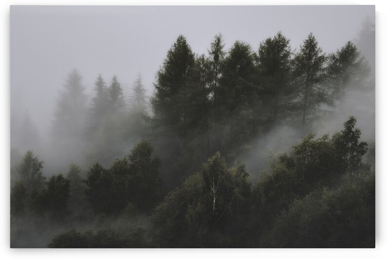 Pine forest in the mist by 7ob