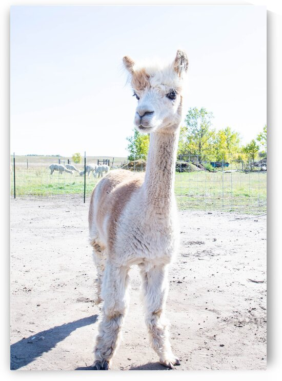 Alpaca Days  by M Kenitzer