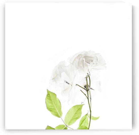 Delicate Rose by Sebastian Schuster
