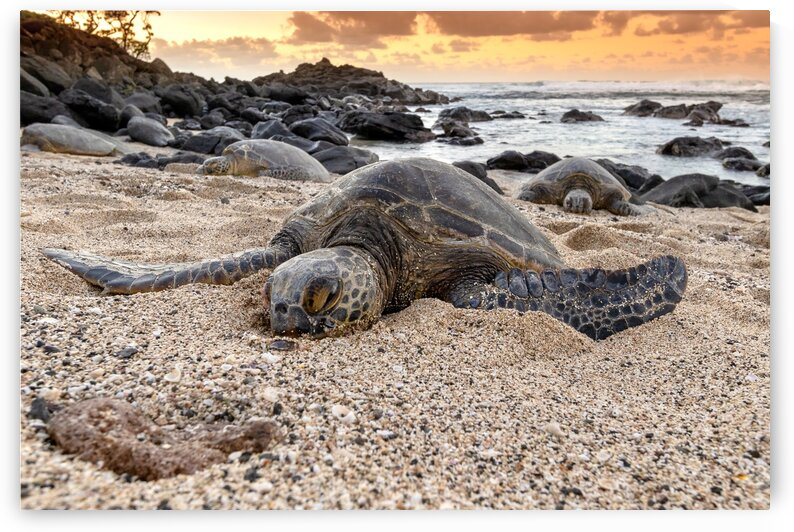Honu at Sunset by Kevin Barrett
