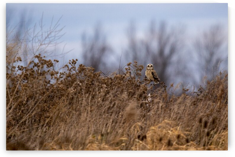 Short-eared Owl by Dylan Brew Photography