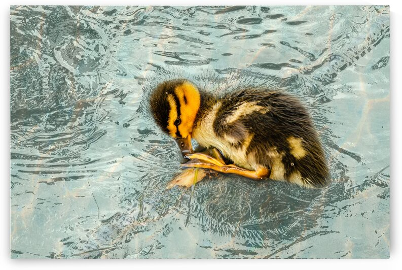 Frozen In Time - Shy Duckling by PitoFotos