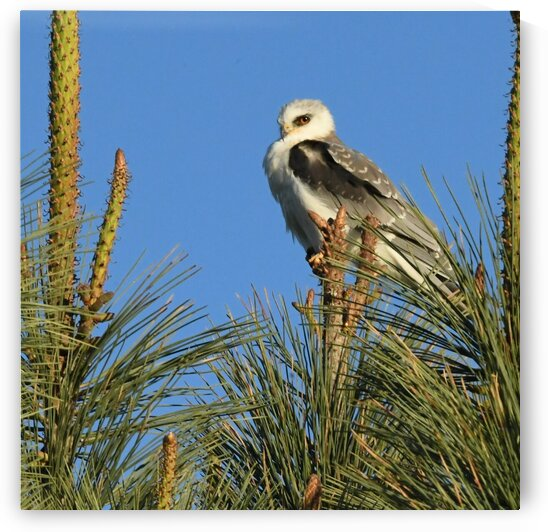 Young White Tailed Kite by H.Hart Photography