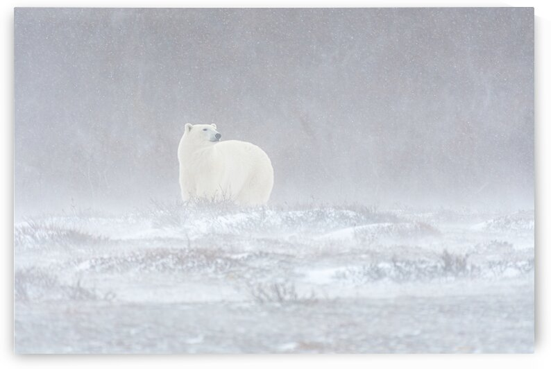 Polar Blizzard by Rino Falvo Photography