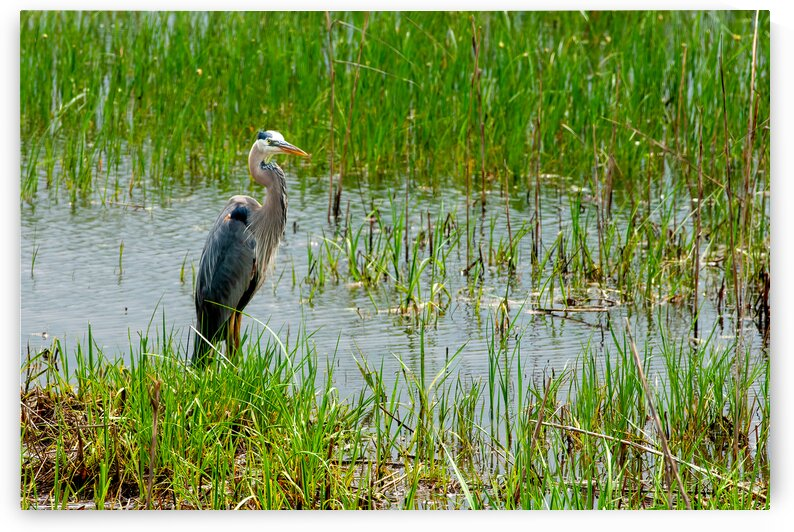 Heron by Eric Franks Photography