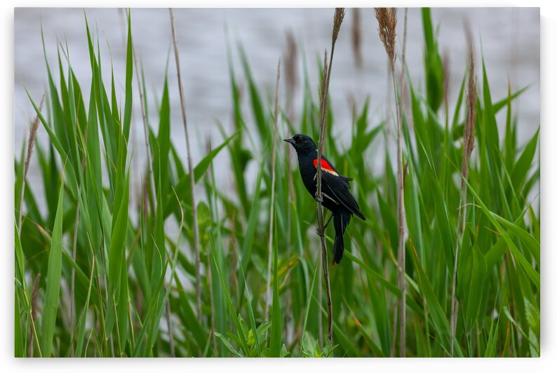 Red-winged Blackbird by Eric Franks Photography
