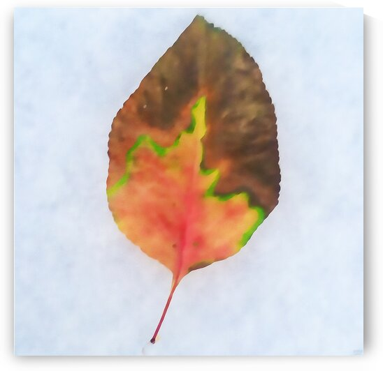snow leaf by Pierce Anderson