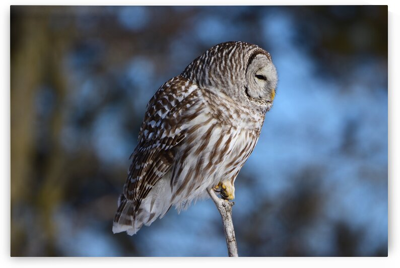 Barred Owl by Paul R  O-Toole