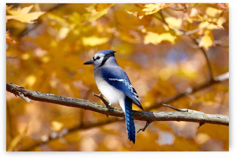 Bluejay by Paul R  O-Toole